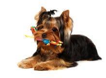 Terrier de Yorkshire novo com um brinquedo Imagens de Stock Royalty Free