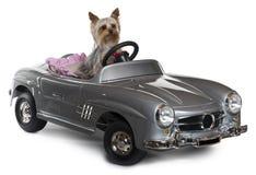 Terrier de Yorkshire, o 1 anos de idade, conduzindo Imagem de Stock