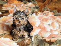 Terrier de Yorkshire pequeno Imagem de Stock Royalty Free