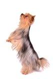 Terrier de Yorkshire que está nos pés traseiros Fotografia de Stock Royalty Free