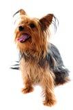 Terrier de Yorkshire que olha afastado fotografia de stock