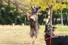 Terrier de Yorkshire que salta y que se coloca en sus dos pies Fotografía de archivo