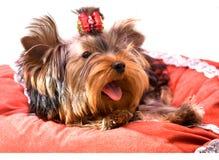 Terrier de yorkshire que se sienta imagenes de archivo