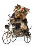 Terrier de yorkshire que se sienta fotografía de archivo