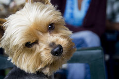 Terrier de yorkshire sospechoso Fotos de archivo