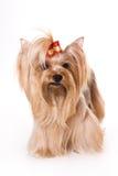 Terrier de Yorkshire (Yorkie) fotografia de stock
