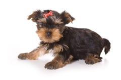 Terrier de Yorkshire (Yorkie) Imagen de archivo libre de regalías
