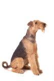 Terrier del Airedale imagen de archivo