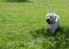 Terrier del blanco de Westhighland fotografía de archivo