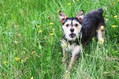 Terrier del cane bastardo Immagine Stock Libera da Diritti