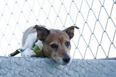 Terrier del Jack Russel Immagini Stock Libere da Diritti