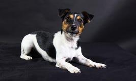 Terrier del Jack Russel Fotografia Stock