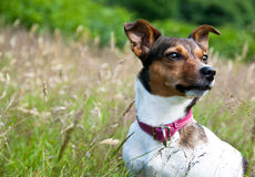 Terrier del Jack Russel che si siede nell'alta erba Immagini Stock Libere da Diritti