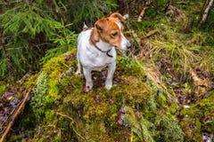 Terrier del Jack Russel su uno stubb Fotografie Stock Libere da Diritti
