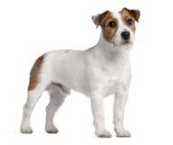 Terrier del Jack Russell, 15 mesi, levantesi in piedi Immagine Stock