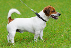 Terrier del Jack Russell Immagine Stock