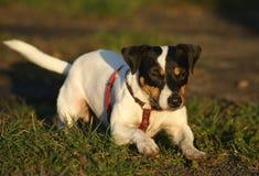Terrier del Jack Russell fotografia stock libera da diritti