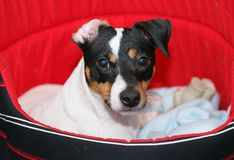 Terrier del Jack Russell fotografia stock