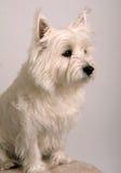 Terrier del oeste blanco de la montaña Fotos de archivo libres de regalías