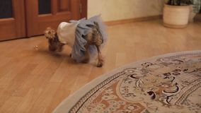 Terrier del perro en vestido divertido almacen de metraje de vídeo