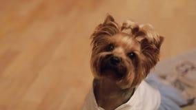Terrier del perro en vestido divertido almacen de video