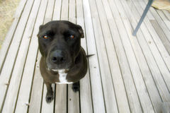 Terrier del pitbull Immagine Stock Libera da Diritti