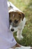 terrier del Russel del cucciolo della presa Fotografia Stock
