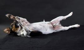 Terrier del russle de Jack imagenes de archivo
