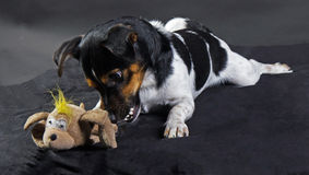 Terrier del russle di Jack Immagini Stock