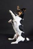 Terrier del russle di Jack Immagine Stock