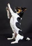Terrier del russle di Jack Immagini Stock Libere da Diritti