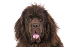 Terrier della Terranova Fotografie Stock Libere da Diritti