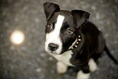 Terrier dello Staffordshire Bull Fotografie Stock Libere da Diritti