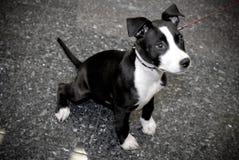 Terrier dello Staffordshire Bull Fotografia Stock Libera da Diritti