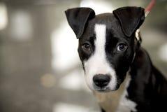 terrier dello Staffordshire del toro Fotografia Stock Libera da Diritti