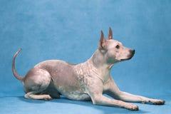 Terrier_1 desnudo americano foto de archivo