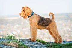 Terrier di Airedale Fotografia Stock