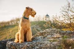 Terrier di Airedale Fotografia Stock Libera da Diritti