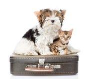Terrier di Biewer-Yorkshire e gatto del Bengala che si siede su una retro borsa Isolato immagine stock libera da diritti