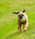 Terrier di bordo inglese Immagine Stock Libera da Diritti