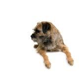 Terrier di bordo inglese Fotografie Stock Libere da Diritti
