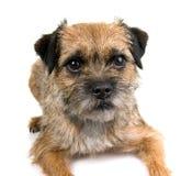 Terrier di bordo inglese Fotografia Stock