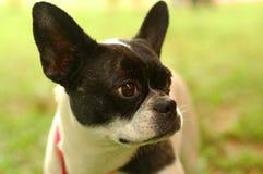 Terrier di Boston del primo piano Fotografie Stock