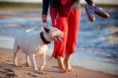 Terrier di Bull dopo il proprietario fotografie stock libere da diritti