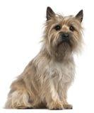 Terrier di cairn, 18 mesi, sedentesi Immagine Stock Libera da Diritti