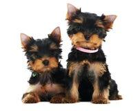 Terrier di due Yorkshire 3 mesi Fotografia Stock