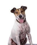 Terrier di Fox su priorità bassa bianca Immagine Stock