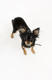 Terrier di giocattolo Fotografie Stock Libere da Diritti