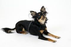 Terrier di giocattolo Fotografia Stock