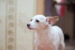Terrier di giocattolo bianco Fotografie Stock Libere da Diritti